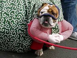 Bulldog Halloween Costumes Pictures Dogs Wearing Halloween Costumes Fun Times Guide