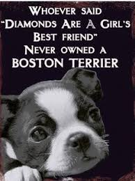 Boston Terrier Meme - elvis ain t got nothin on this boston terrier boston terrier