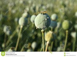Opium Harvest Of Opium From Poppy Stock Photos Image 15298113
