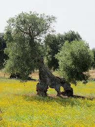 55 best olive grove project images on olive tree
