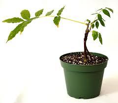 amazon com 9greenbox chinese blue wisteria 4
