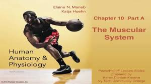 Anatomy And Physiology The Muscular System Anatomy And Physiology Chapter 10 Part A Lecture The Muscular