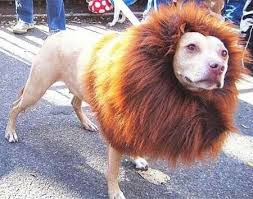 Dog Halloween Costume Lion Mane Pitbull U0027lion U0027 Pitbulls U003c3 Pitbull Lions
