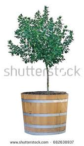 pot tree stock images royalty free images vectors