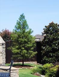 Create Privacy In Backyard Bald Cypress Tree Dallas Texas Treeland Nursery
