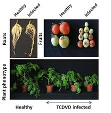 Viroid Diseases In Plants - marine drugs free full text λ carrageenan suppresses tomato