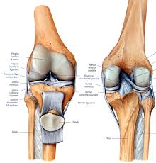 Ankle Anatomy Ligaments Anatomy Organ Pictures Human Knee Joint Samples Collection Femur