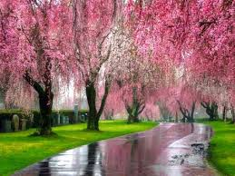 pink trees flowers nature background wallpapers on desktop