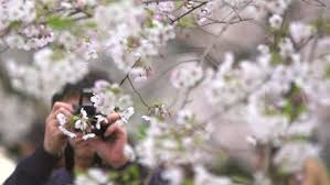white cherry blossom cherry blossoms japan free stock footage