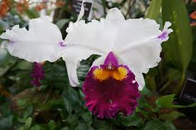 orchids pictures orchidelirium an obsession with orchids has lasted for centuries