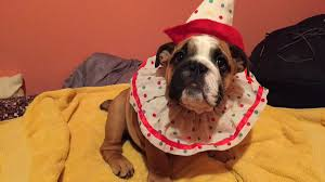 english bulldog halloween costumes lilia mcghee liliamcghee1 twitter