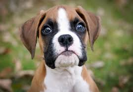 boxer dog with tail boxer puppies for sale akc puppyfinder