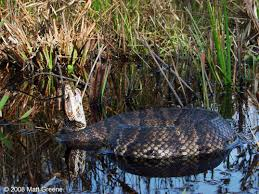 living alongside wildlife cottonmouth myths i snakes dropping