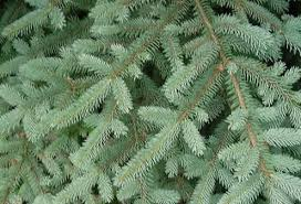 christmas tree types bob vila