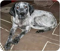 australian shepherd australian cattle dog mix australian cattle dog english setter mix australian cattle dogs