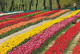 asia u0027s largest tulip garden to be thrown open for visitors on