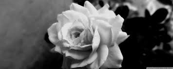 Cute Black And White Wallpapers by Cute Rose Hd Desktop Wallpaper Widescreen High Definition