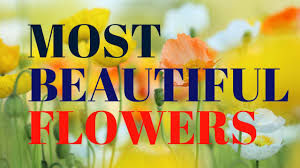 Flowers In Japanese Culture - most beautiful flowers in the world 2016 beauty of flowers youtube