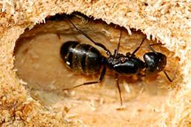 How To Kill Ants In The Kitchen by How To Get Rid Of Ants In Your House Effective Ways Of Protecting