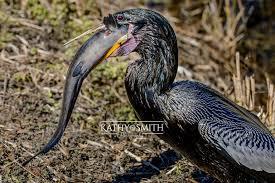 Florida Wildlife images Florida birds and alligators kathy smith photography jpg