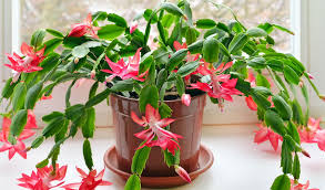tips for growing thanksgiving and easter cactus