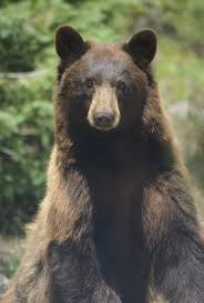 47 best black bear images on pinterest american black bear