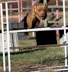 l american pitbull terrier a p b t against the wind kennels