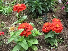 zinnias how to grow and care for zinnia plants garden helper