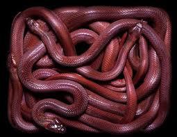 Blind Snake For Sale 227 Best Snakes Images On Pinterest Snakes Amphibians And Snake