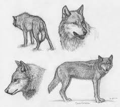 iwc wolf sketches by canis ferox on deviantart