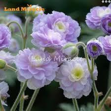 fleurs vivaces rustiques online get cheap plantes vivaces rustiques aliexpress com