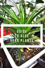do aloe plants need sunlight growing aloe vera successfully a comprehensive guide gardening