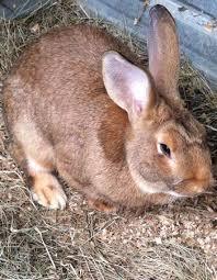 flemish giant rabbit care diet lifespan faq