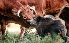 why a wild pig befriended a herd of cows