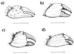 claw morphology prey size selection and foraging efficiency in