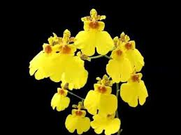 oncidium orchid oncidium orchid flower breed pictures of oncidium orchid