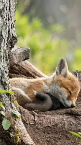 best 25 baby foxes ideas on pinterest cute fox foxes and animals