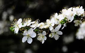 white cherry blossom white cherry blossoms domain free photos for
