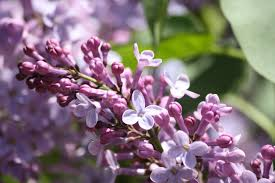 Lilac Flower by Lilac Flowers Starting To Bloom Picture Free Photograph Photos