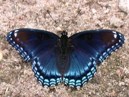 spotted purple wisconsinbutterflies org