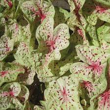 caladium bulbs for sale u2013 easy to grow bulbs