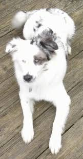 lifespan of australian shepherd border aussie dog breed information and pictures