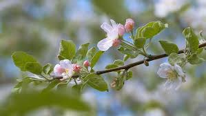 bees flying collecting pollen from flowers apple tree blossom at