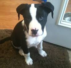 american pitbull terrier dalmatian mix 12 unreal border collie cross breeds you have to see to believe