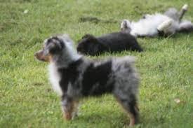 mdr1 australian shepherd males at justa little aussie toy aussie mini minature australian