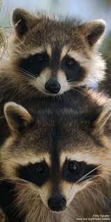 42 best raccoon pictures images on pinterest animals wild