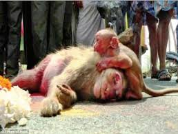 Baby Monkey Meme - grief stricken baby monkey weeps over its mother s body daily