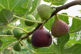 12 popular fruit bearing trees that are easy to grow the self