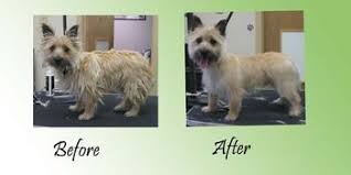 cairn terrier haircuts paws at your door mobile grooming client gallery