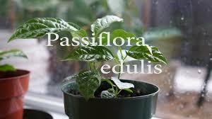 amazing timelapse of a passion fruit plant passiflora edulis